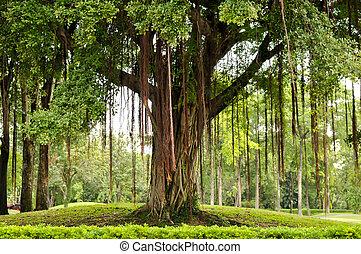 árvore grande, parque, bangkok, tailandia