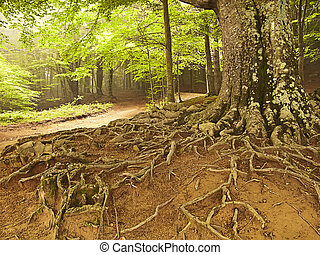 árvore grande, raizes, em, um, floresta, (spain)