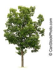 árvore, isolado
