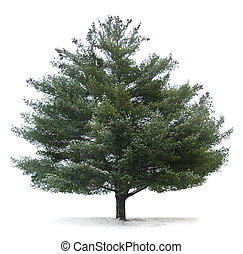árvore, isolado, pinho