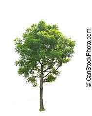 árvore, isolado, verde, fundo, branca