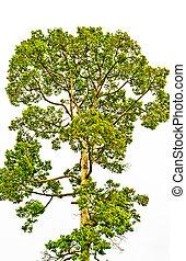 árvore, ligado, um, fundo branco