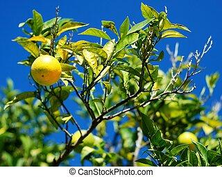 árvore limão, limões, muitos