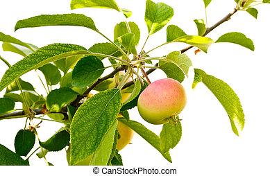 árvore, maçã, róseo, jovem