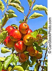 árvore, maçãs, maduro