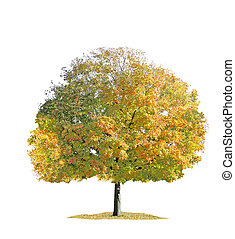 árvore maple