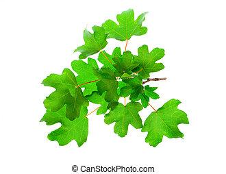 árvore maple, folhas, isolado, branco, fundo
