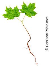 árvore maple, jovem, raizes