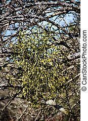 árvore, mistletoes