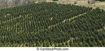 árvore natal, fazenda