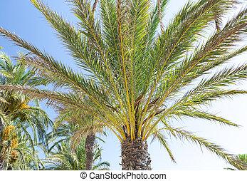 árvore palma, em, dia verão