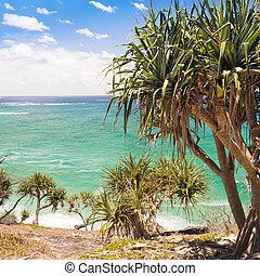 árvore palma, pandanus