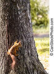 árvore, parque, esquilo