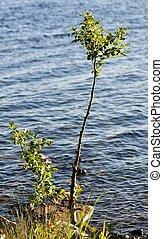 árvore pequena, jovem, lago