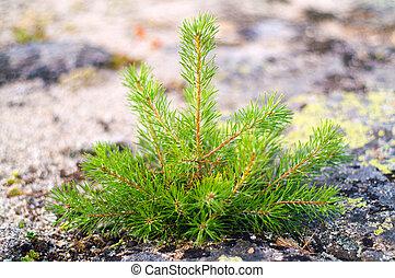 árvore pequena, pinho