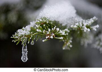 árvore perene, neve, pinho, coberto, fresco, natal