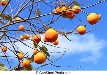 árvore, persimmon