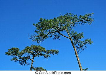 árvore pinho, com, céu azul