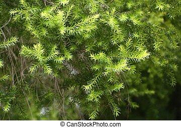 árvore pinho