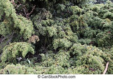 árvore, pinho