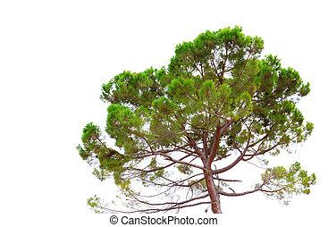 árvore pinho, isolado, branco