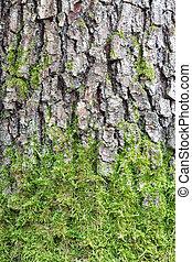 árvore pinho, ladrar, textura, com, verde, musgo