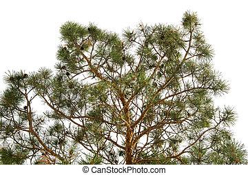 árvore, pinho, ramo