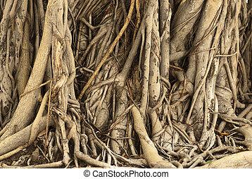 árvore, raizes, cambodia, ficus