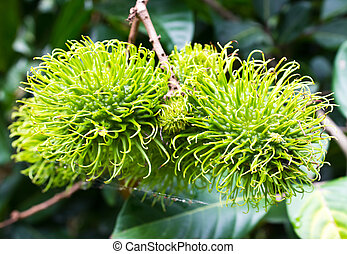 árvore,  Rambutan, jovem