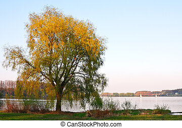 árvore salgueiro