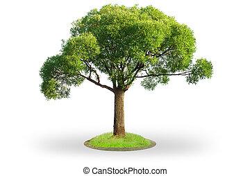 árvore salgueiro, isolado, branco