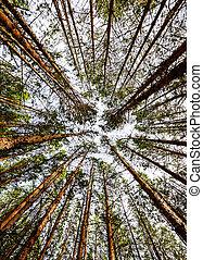 árvore, siberian, floresta pinho