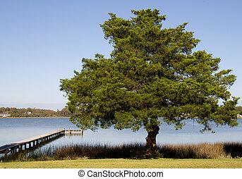árvore spruce