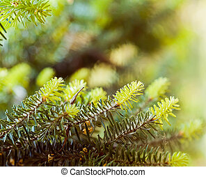 árvore spruce, ramos