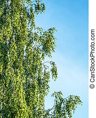 árvore, vidoeiro