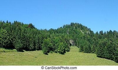 árvores abeto