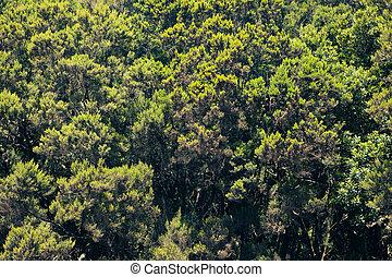 árvores abeto, fundo