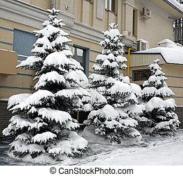 árvores abeto, nevado