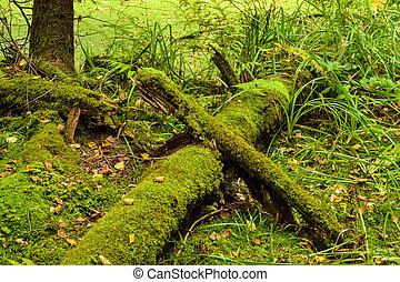 árvores caídas, em, a, floresta, coberto, com, verde, moss., um, antigas, forest.