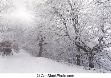 árvores, coberto, com, geada, e, neve, em, a, floresta