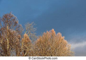 árvores inverno, gelado