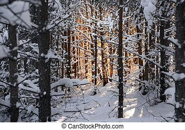 árvores inverno, pinho