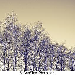 árvores inverno, vidoeiro