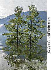 árvores, ligado, um, inundação, lago alpina