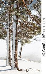 árvores, paisagem inverno, pinho