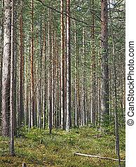árvores pinho, em, a, floresta
