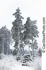 árvores pinho, em, inverno