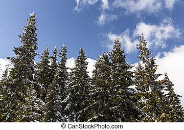 árvores pinho, em, neve