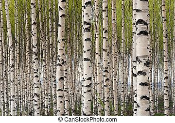 árvores, vidoeiro