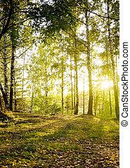 árvores vidoeiro, floresta, outono